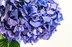 Flor azul do Hydrangea. Fotos de Stock Royalty Free