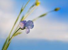 A flor azul do linho floresce no campo Imagens de Stock