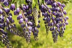 Flor azul do lupine no fundo verde Fotografia de Stock Royalty Free