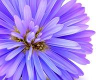 Flor azul do milho Imagens de Stock Royalty Free