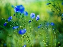 Flor azul do milho Fotografia de Stock