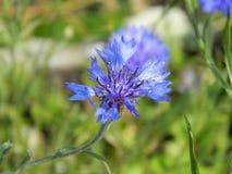 Flor azul do milho fotos de stock