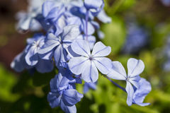 Flor azul do plumbago Imagens de Stock Royalty Free