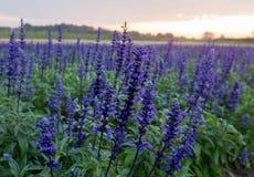 Flor azul do salvia, fotografia de stock royalty free