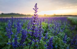 Flor azul do salvia, imagens de stock
