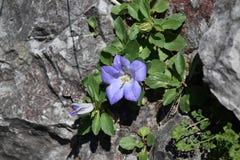Flor azul do sino nas montanhas Imagens de Stock Royalty Free