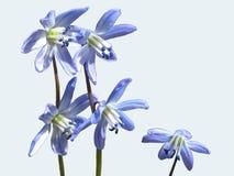 Flor azul do snowdrop ou da prímula-um que olha espetacular no jardim, em uma clareira da floresta e em um fundo branco imagem de stock