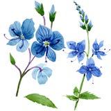 Flor azul do Veronica da aquarela Flor botânica floral Elemento isolado da ilustração ilustração stock