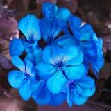 Flor azul em um fundo violeta Autorização 4 4 fotos de stock royalty free