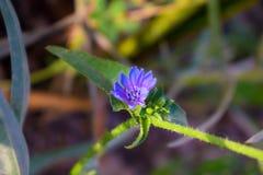 Flor azul em um jardim fotos de stock royalty free