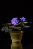 Flor azul em um potenciômetro em um fundo escuro com reflexão Fotos de Stock