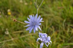 Flor azul em um prado Foto de Stock Royalty Free