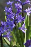 Flor azul en el jardín Foto de archivo libre de regalías
