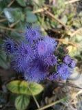 Flor azul en selva foto de archivo libre de regalías