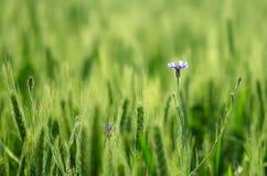 Flor azul en un trigo verde Imágenes de archivo libres de regalías