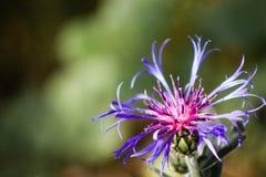 Flor azul en verano con el fondo verde suave Fotografía de archivo