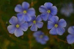 Flor azul fresca, tiro macro do Wildflower, flores Imagens de Stock