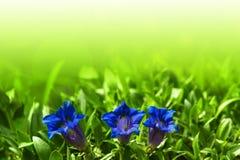 Flor azul gentiana del resorte de la trompeta en jardín Imagen de archivo