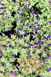 Flor azul, guisante de mariposa Foto de archivo libre de regalías