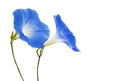 Flor azul hermosa Foto de archivo libre de regalías