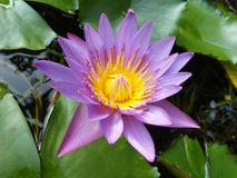Flor azul hermosa del lirio de las fotos naturales de Sri Lanka imágenes de archivo libres de regalías