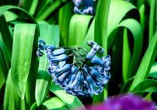 Flor azul hermosa en d?a soleado en fondo verde fotografía de archivo