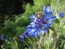 Flor azul hermosa y una abeja de la miel Imagen de archivo