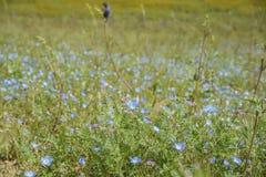 Flor azul hermoso de los ojos de azules cielos fotos de archivo