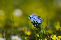 Flor azul iluminada por el sol de la primavera Imagenes de archivo