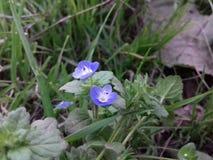 Flor azul minúscula imagem de stock