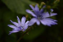 Flor azul muy hermosa Foto de archivo