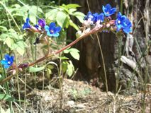 Flor azul na floresta Foto de Stock Royalty Free
