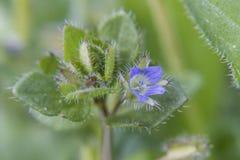 Flor azul na grama. fotos de stock
