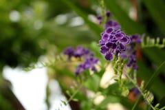 Flor azul púrpura de Duranta Imagen de archivo libre de regalías