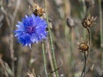 Flor azul todo solamente Foto de archivo libre de regalías