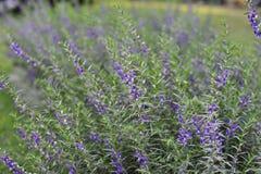 Flor azul violeta púrpura en el jardín Imagenes de archivo