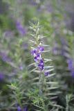 Flor azul violeta púrpura en el jardín Foto de archivo libre de regalías