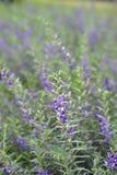 Flor azul violeta púrpura en el jardín Fotografía de archivo