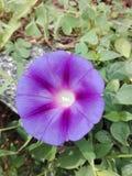 Flor azul y blanca Imagen de archivo libre de regalías