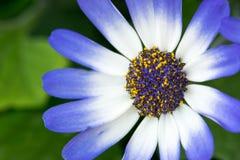 Flor azul y blanca intrépida Imagenes de archivo