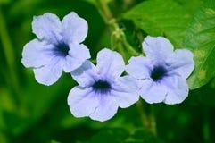 Flor azulada blanca hermosa desconocida de la calle tres fotografía de archivo libre de regalías
