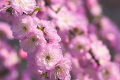 Flor background_2 de Sakura Fotos de archivo libres de regalías