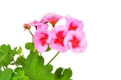 Flor Balmy do gerânio fotografia de stock royalty free
