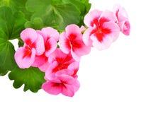 Flor balsámica del geranio Fotos de archivo