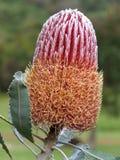 Flor - Banksia Menzies Fotografía de archivo
