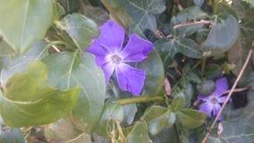 Flor bastante púrpura Imagen de archivo libre de regalías