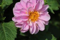 Flor bastante rosada con la abeja Imagen de archivo libre de regalías