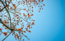 Flor bastarda da teca Imagem de Stock