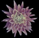 Flor beringela-branca da dália, fundo preto isolado com trajeto de grampeamento closeup sem sombras Grande, f manchado, pontudo fotografia de stock