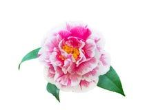 Flor bicolor branca e cor-de-rosa da camélia fotos de stock